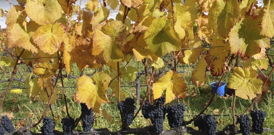 vines_judgerock1